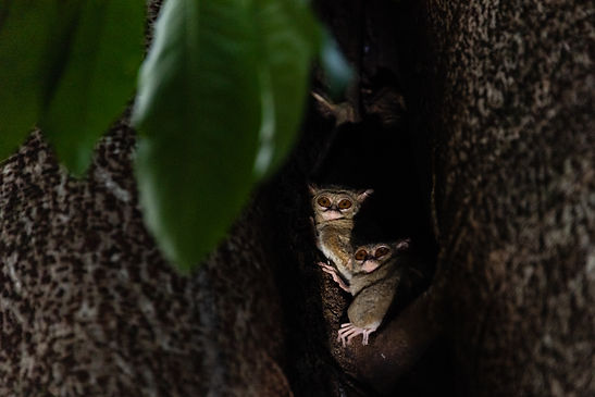 Spectral Tarsier - North Sulawesi, Indonesia