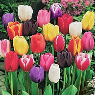 f20-mixed-triumph-tulips.jpg