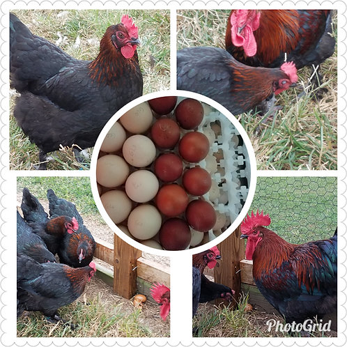 6  Black Copper Marans Hatching Eggs