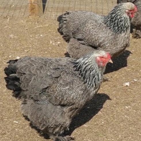 Brahma Dark  Straight Run chick Large Fowl (our Line)