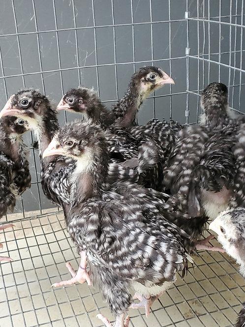 FEMALE English Black Cuckoo Orpington   3-4 weeks old