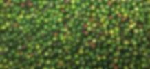Pepper crop