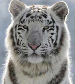 Tigre-blanco-gestalt