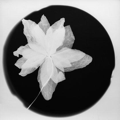 Hogen - Orchid #4