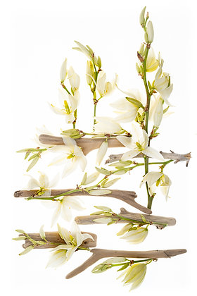 Wolff-Yucca Meets Driftwood