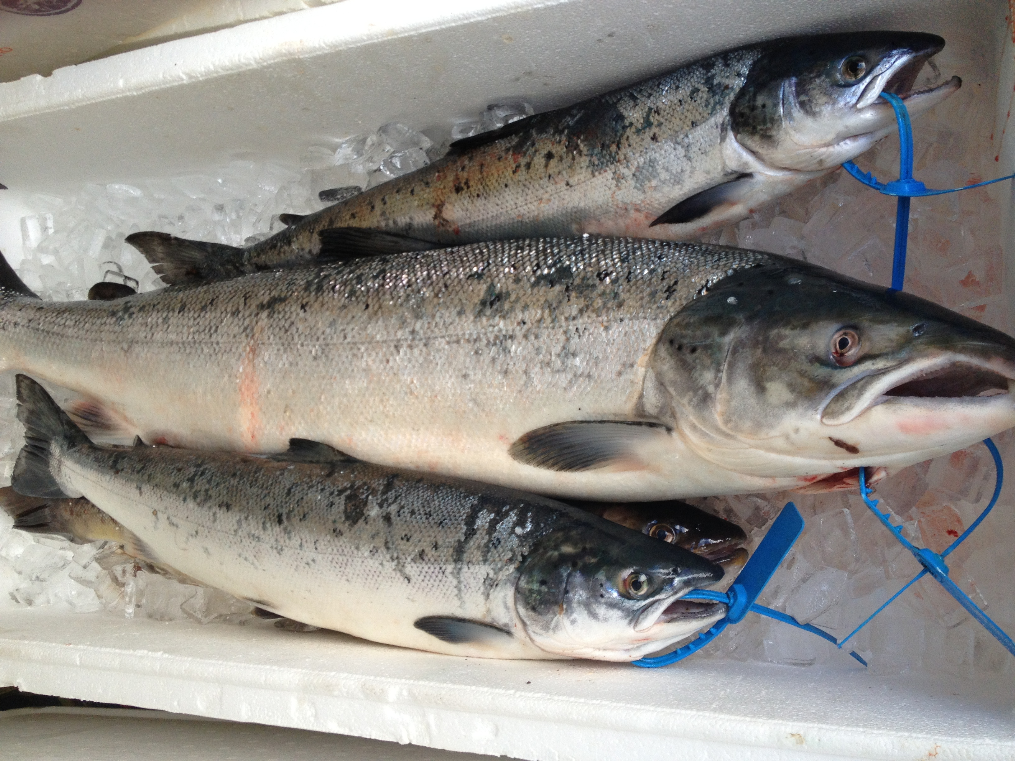 Solway firth wild salmon