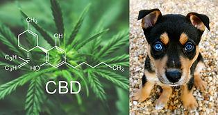 myths-about-cbd-hemp-and-dogs.jpg
