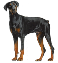 Doberman Dog.png