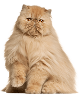 Persian Cat.png
