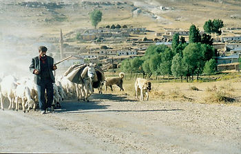 photo of Turkish shepherd, sheep and dogs