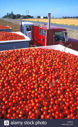 processing-tomatoes-on-truck-california-