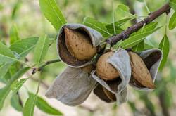 Almonds-in-split-hulls-ready-to-be-harve