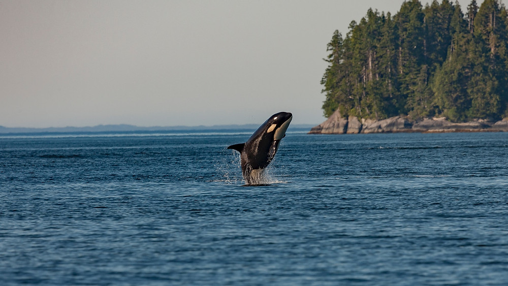 Photograph of an orca breaching calm blue waters against a backdrop of pine trees to the right and distant mountains on the horizon