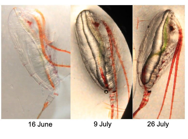 Three microscopic photographs of copepods, dated 16 June, 9 July and 26 July. The copepods are transparent in the image, such that their guts are visible. A green tinge starts in 9 July and increases in area occupied and color intensity.