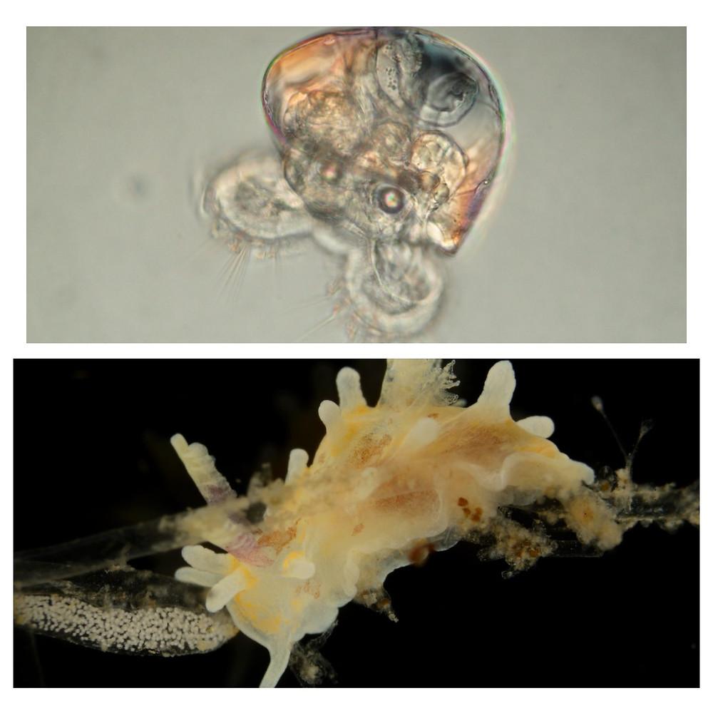 Uma larva véliger vista do microscópio e abaixo um nudibrânquio amarelo soltando um cordão de ovos, como um colar de pérolas