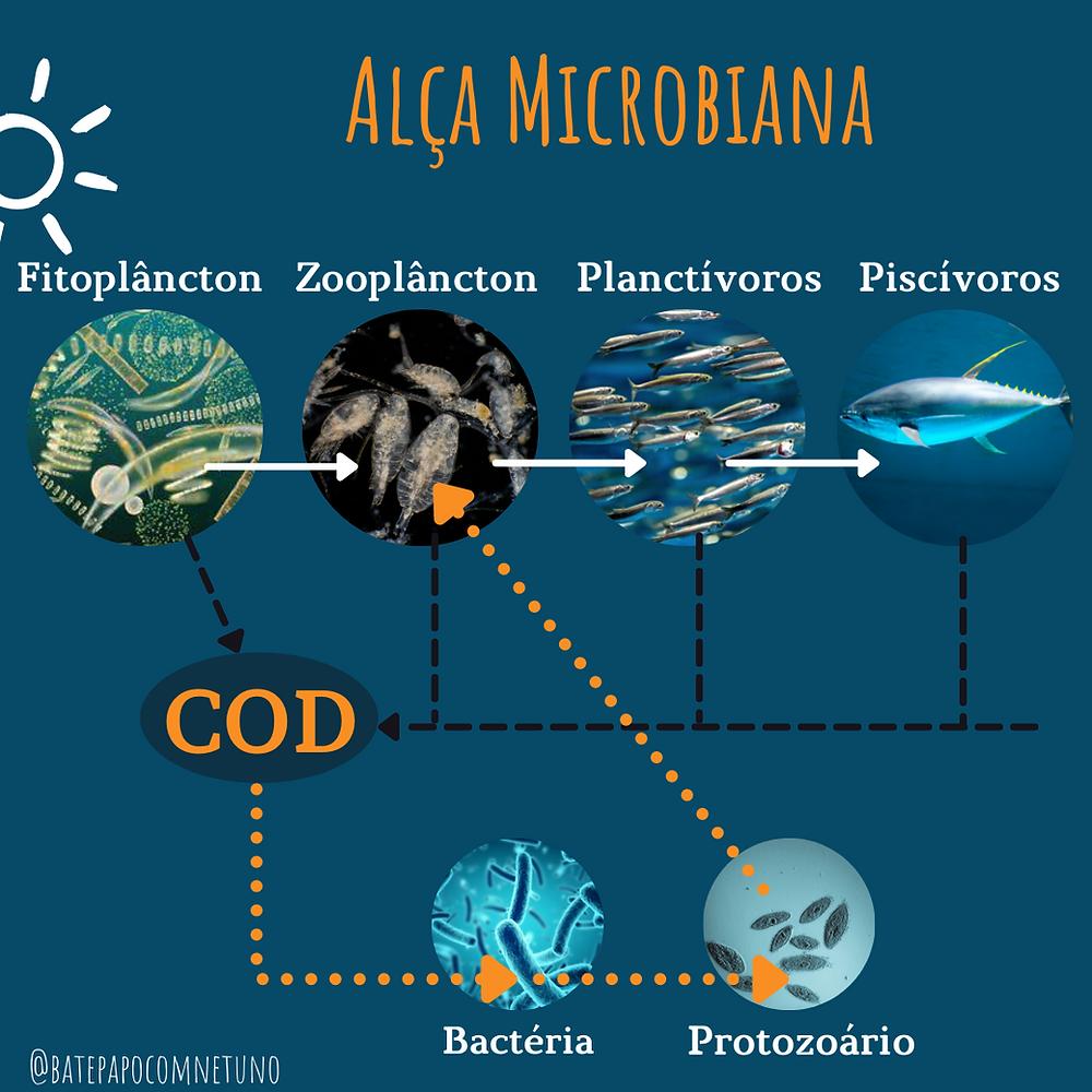 exemplo de alça microbiana. Onde bactérias se alimentam do  carbono orgânico dissolvido e são predadas por protozaoários, que são então ingeridos pelos zooplâncton restornando o carbono que seria perdido à cadeia limentar