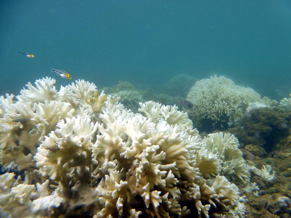 Colônia de Coral de Fogo branqueada no primeiro plano com pequenos peixes acima dela, ao fundo mais colônias de Coral de Fogo branqueadas