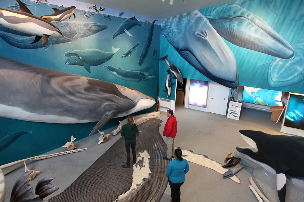 Fotografia tirada do alto de uma sala de exposição em um museu. As duas paredes que aparecem na fotografia tem pinturas realistas de golfinhos e baleias. O chão é coberto por um carpete cinza com um tapete estampado e no formato de uma baleia jubarte, além de uma estátua de outra baleia à direita e exemplos de vértebras e ossos de baleia à esquerda. Três pessoas estão no meio da sala observando a exposição.