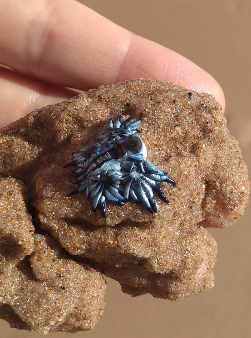 Na foto, uma mão aberta segura um dragão do mar. Ao fundo está a areia da praia