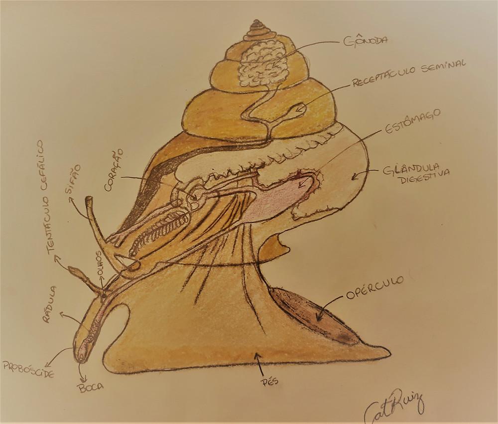 Ilustração sobre a morfologia de uma Stramonita.