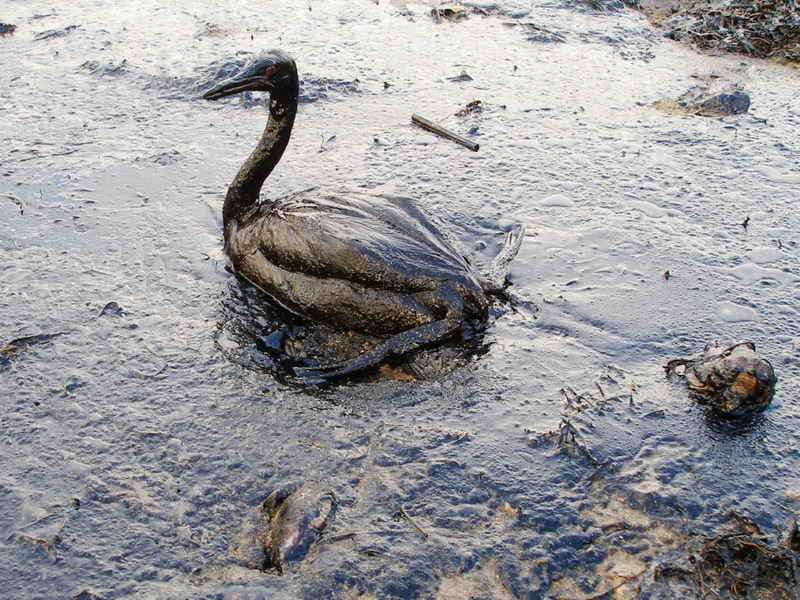Photograph of a bird covered in oil on an equally oiled beach after an environmental disaster