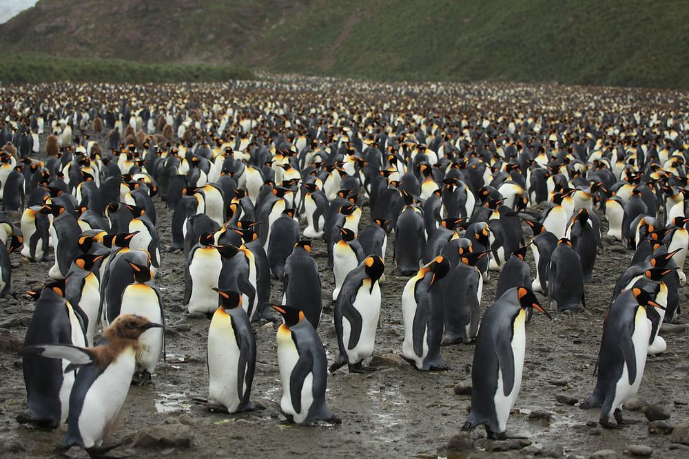 Grupo de aproximadamente 20 mil pinguins reunidos em uma colônia.