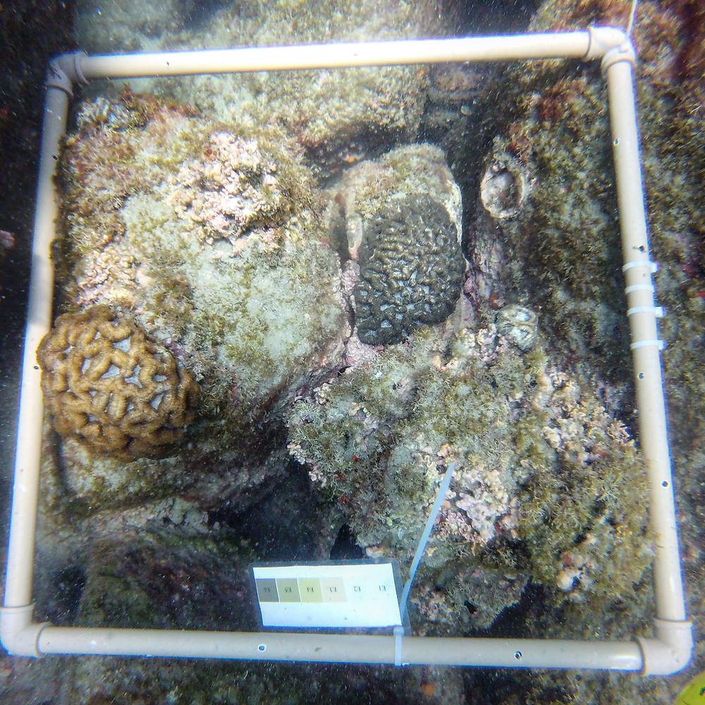 Texto Alt: Quadrati de PVC com escala de cor para monitoramento do estado de saúde dos corais. Observamos duas colônias de coral cérebro brasileiro com diferentes tons de amarelo e bege.