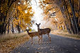 Deer Crossing The Road In Autumn/Fall Co