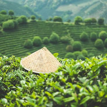 China theeplantage, Chinese hoed