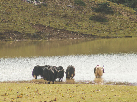 Yak weide, Yunnan