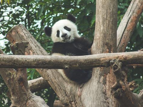 Panda's Chengdu