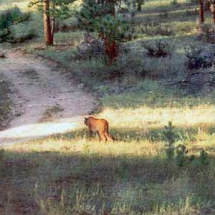 Yes, that is a MOUNTAIN LION
