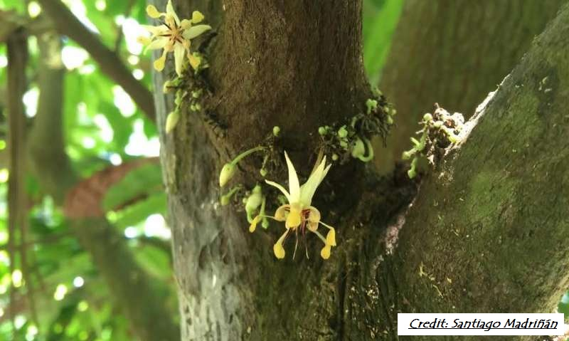 Cocoa Trees - How Old Are They?