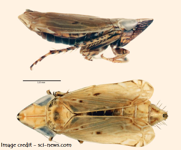 New Species of Leafhopper Discovered