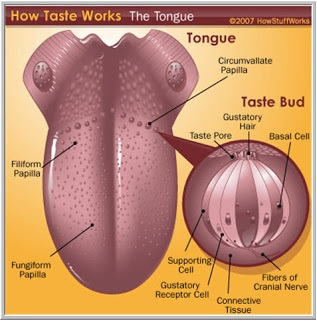 How Taste Buds Work