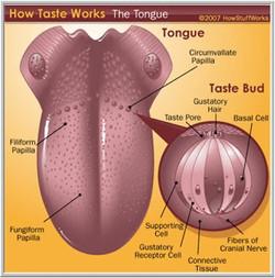 How Taste Buds Work
