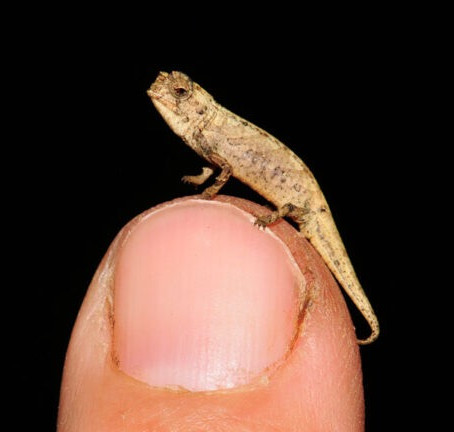 A new chameleon species may be the world's tiniest reptile