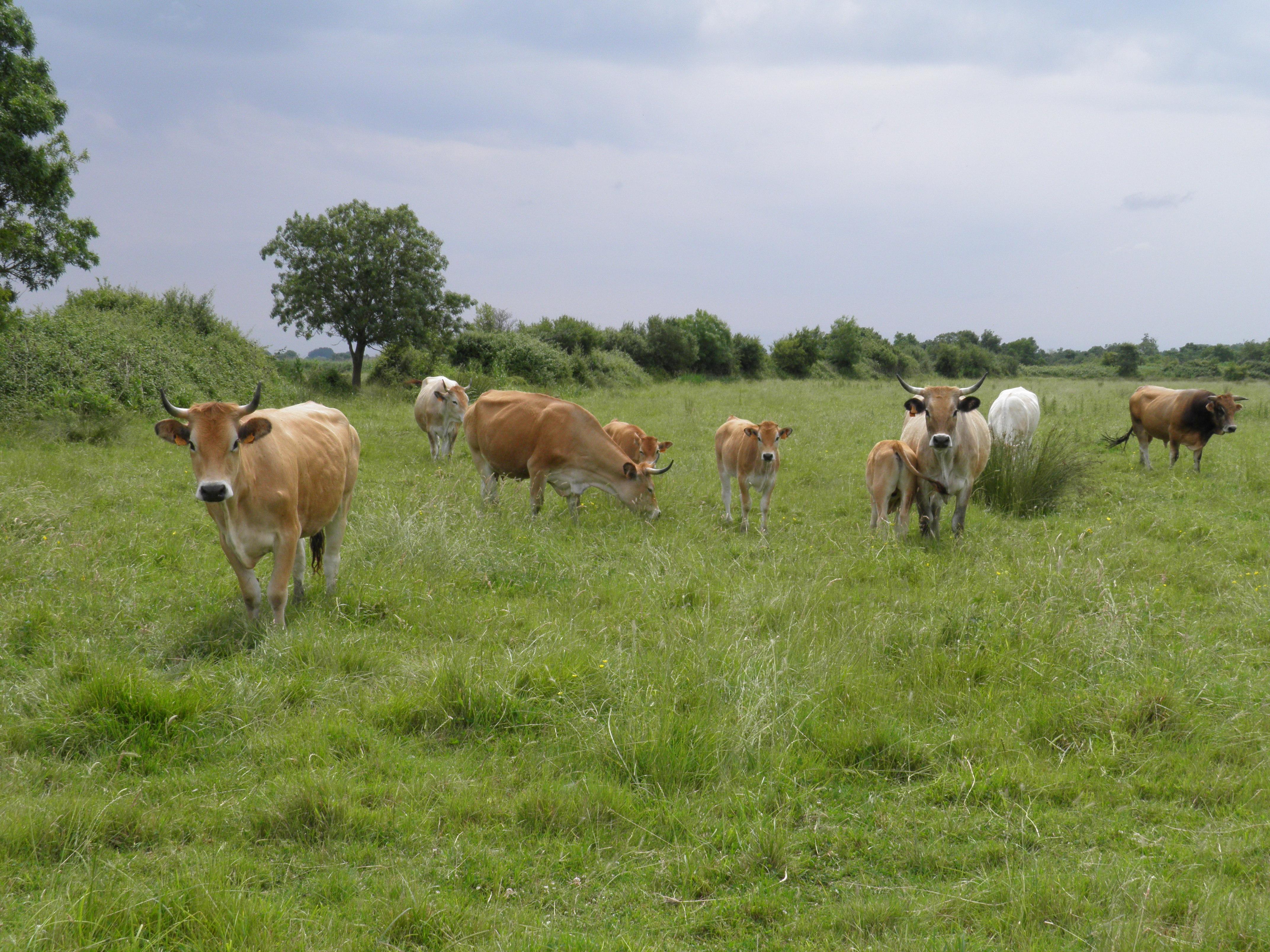 Vaches Nantaises