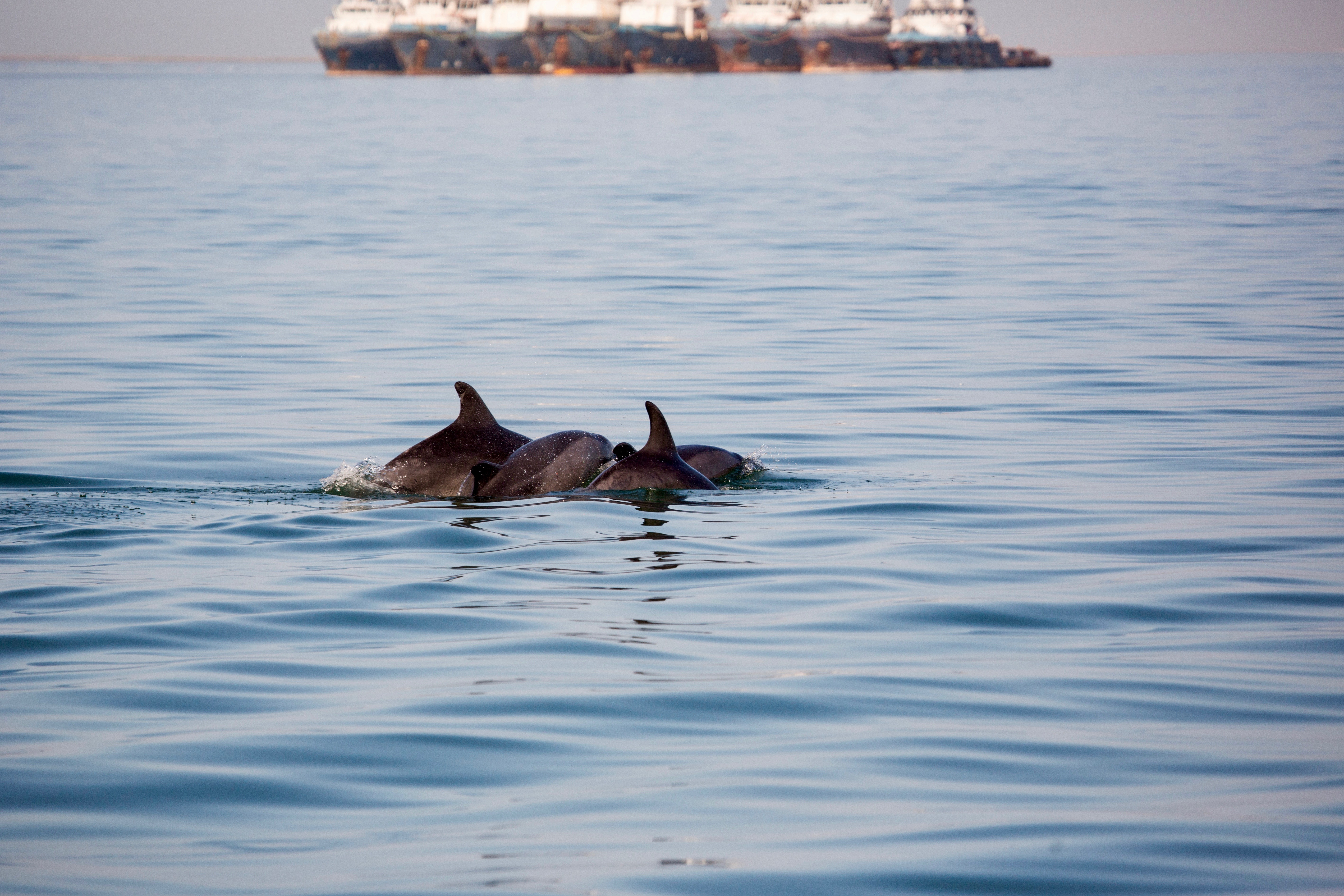 Dolphins ships 2.jpg