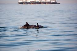 Dolphins ships 2.jpg