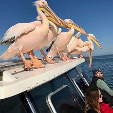 Pelican row.jpg