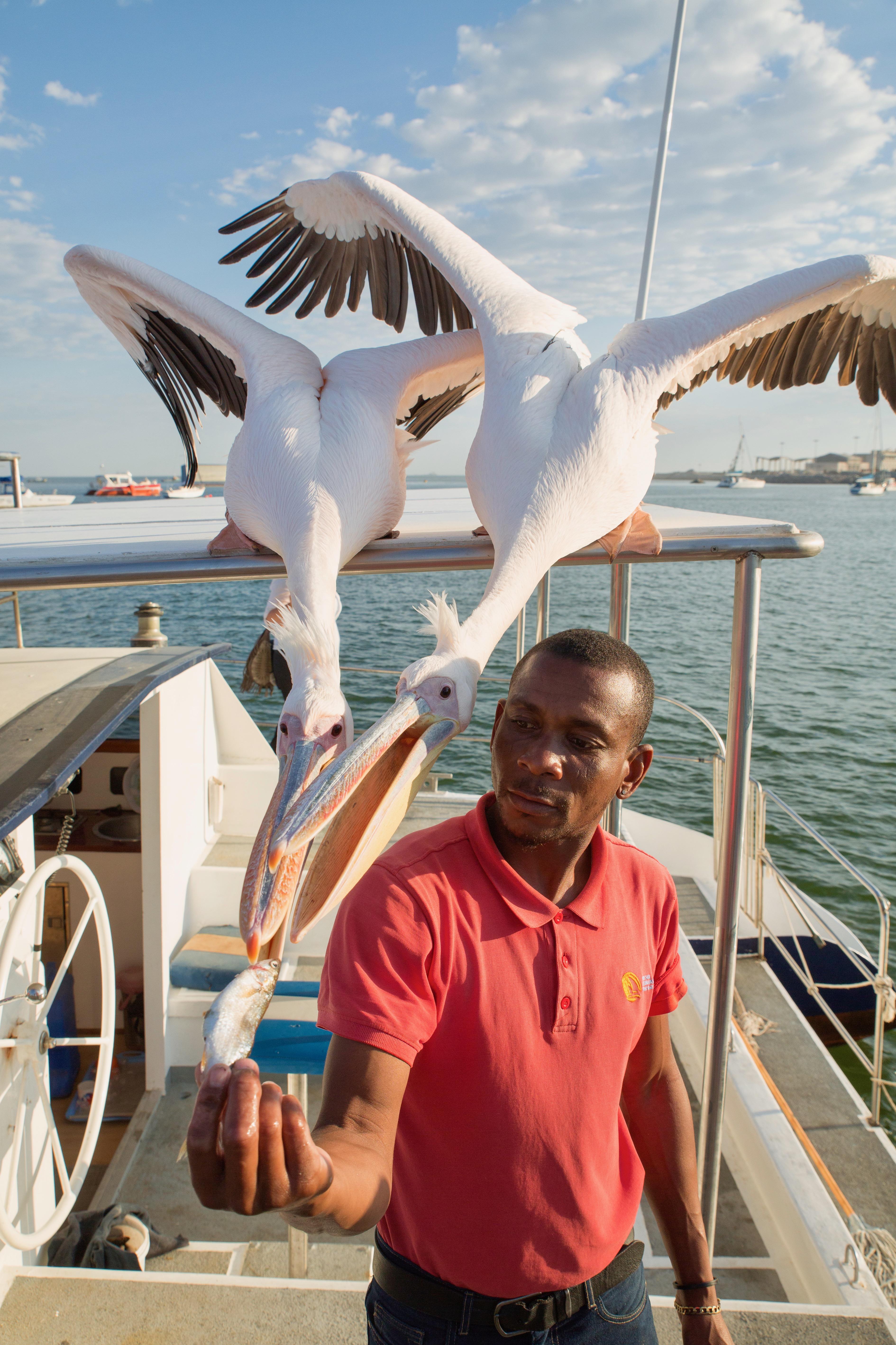 Pelican Abed.jpg