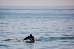 Dolphin dive.jpg