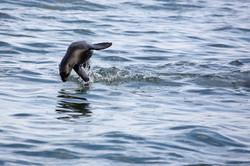 Seal jump turn.jpg