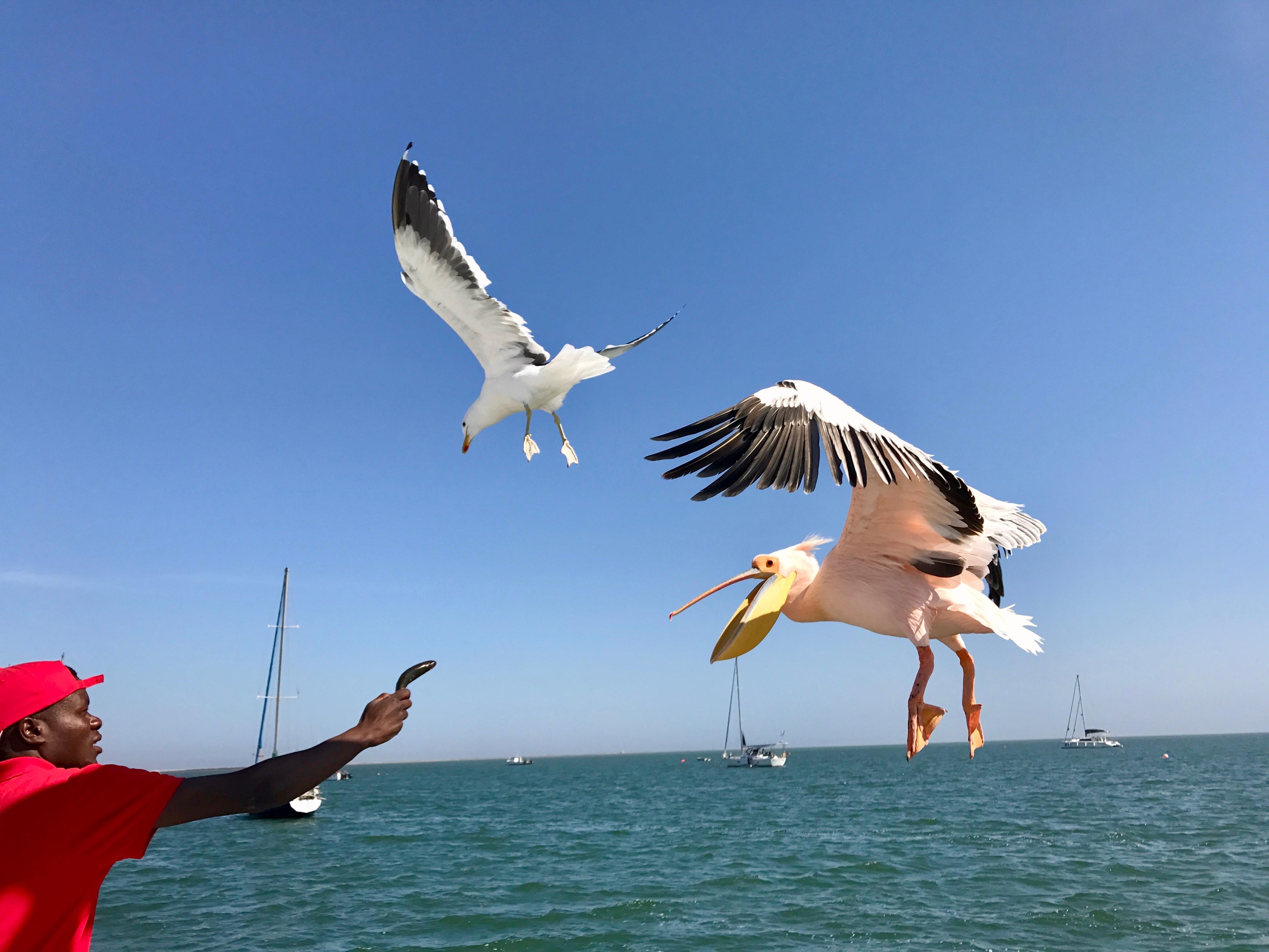 Pelican seagull Johnny.jpg