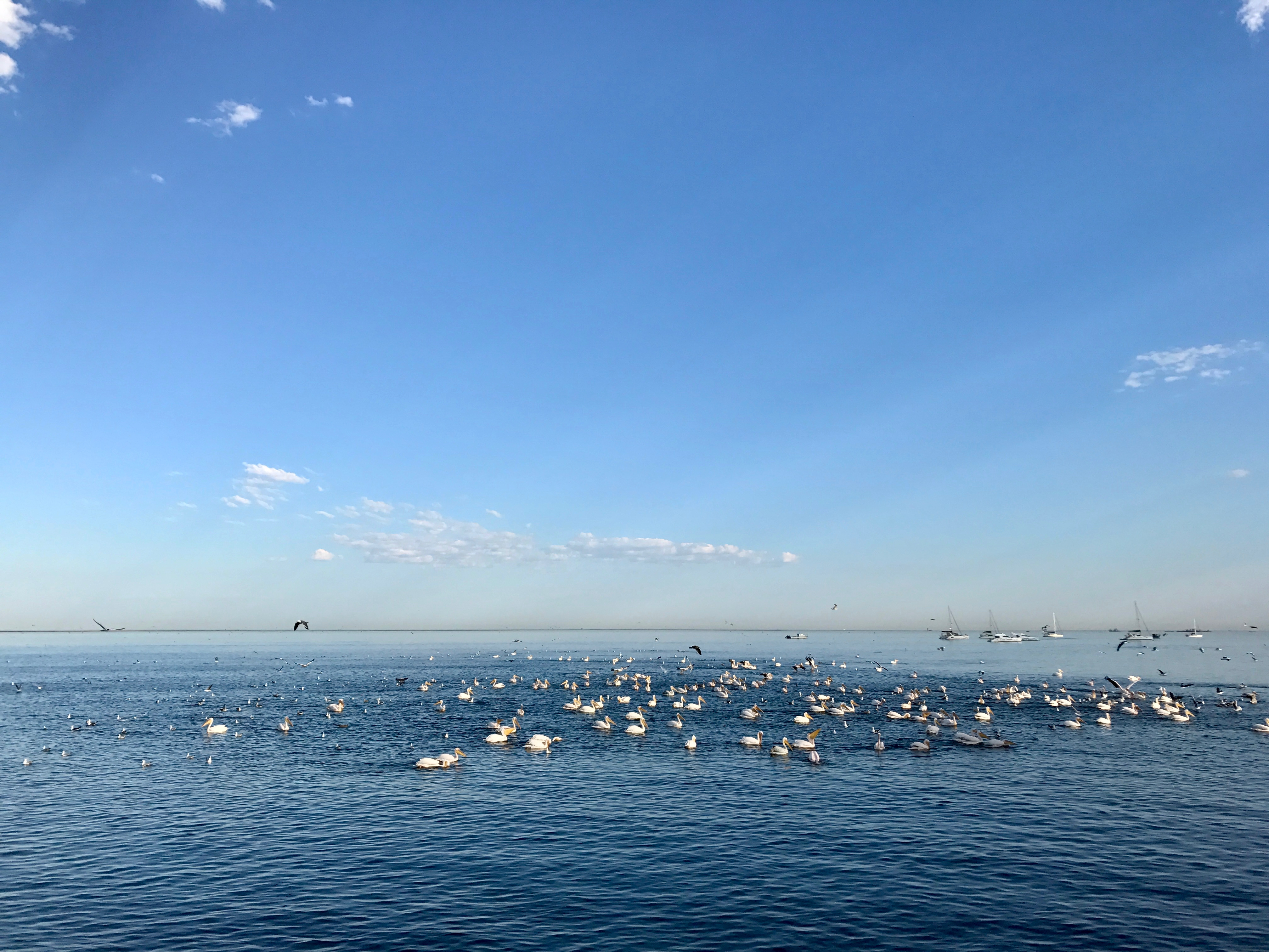 Pelican frenzy.jpg