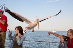 Pelican incoming.jpg