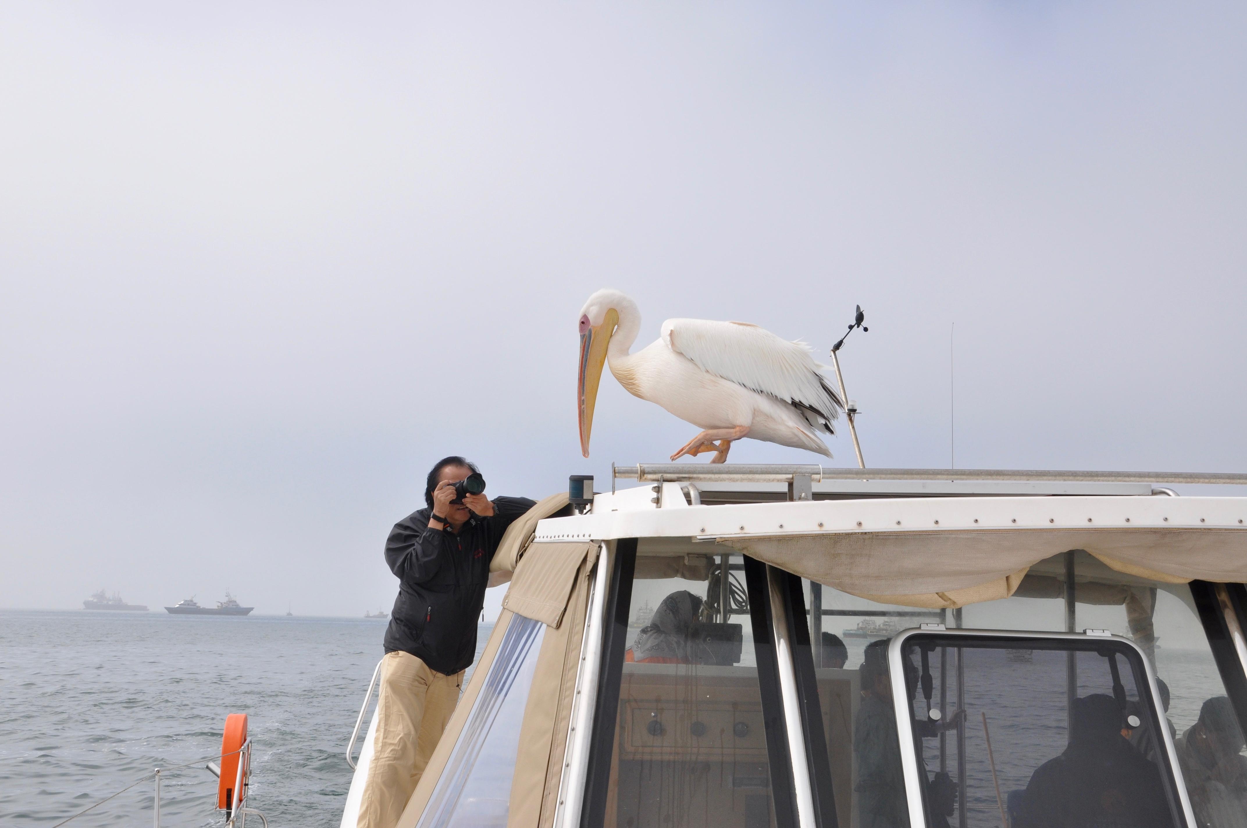 AA Pelican.jpg