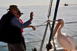 Guest Pelican.jpg