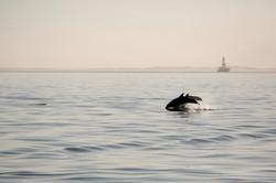 Dolphin jump 2.jpg